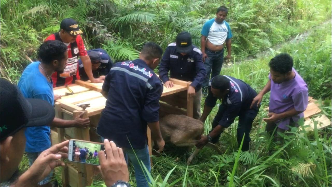 BKSDA Maluku Lepasliarkan 3 Ekor Rusa Timor