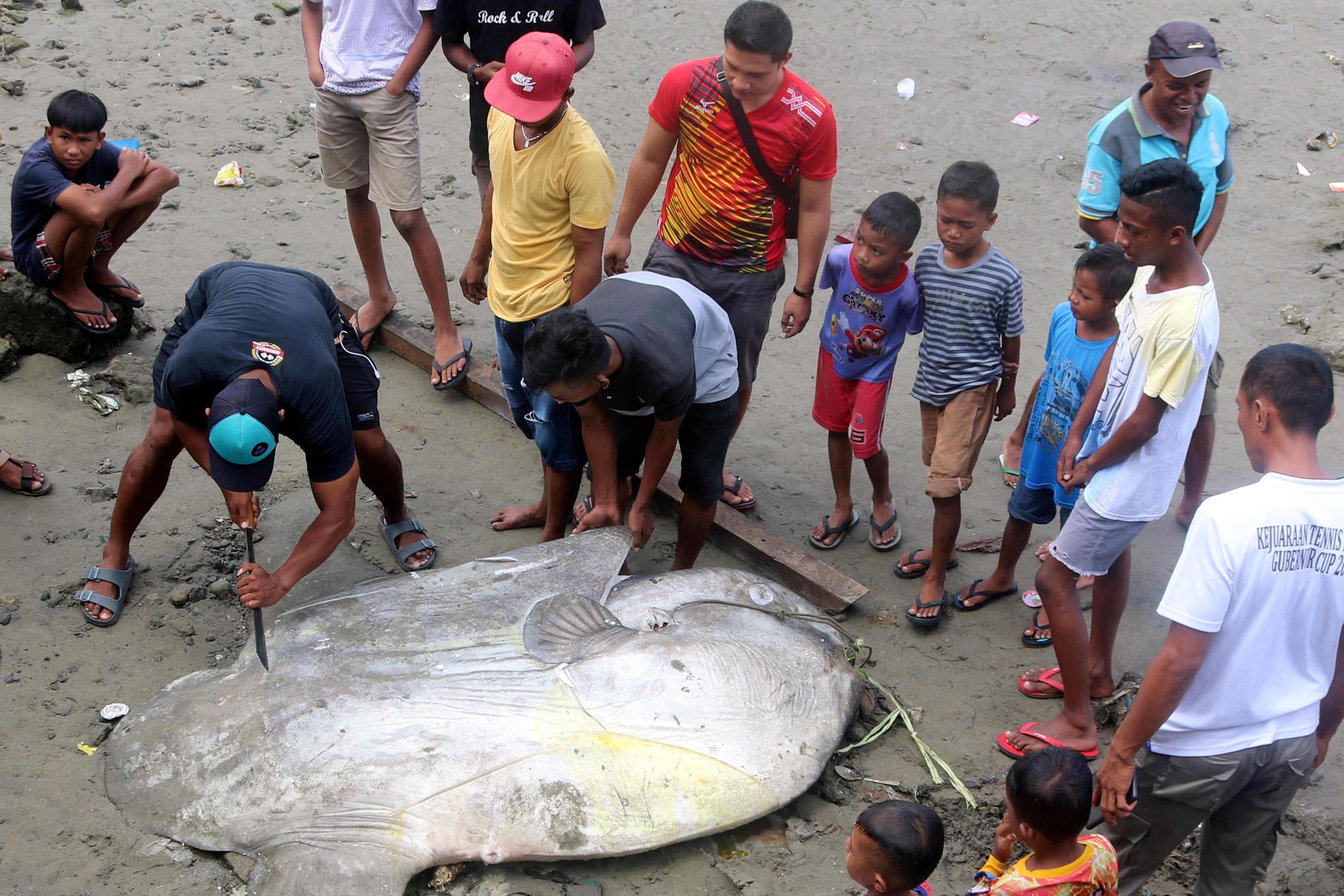 Ikan Mola-mola Terperangkap Jaring Nelayan di Teluk Ambon