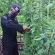 Brimob Maksimalkan Ketahanan Pangan Di Tengah Pandemi Covid-19