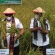 Gubernur Maluku Panen Raya Padi Di Waimital